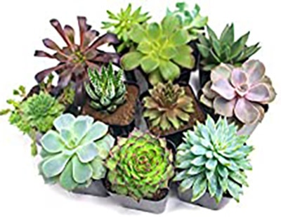 Succulent Plants (12 Pack) Fully Rooted in Planter Pots with Soil