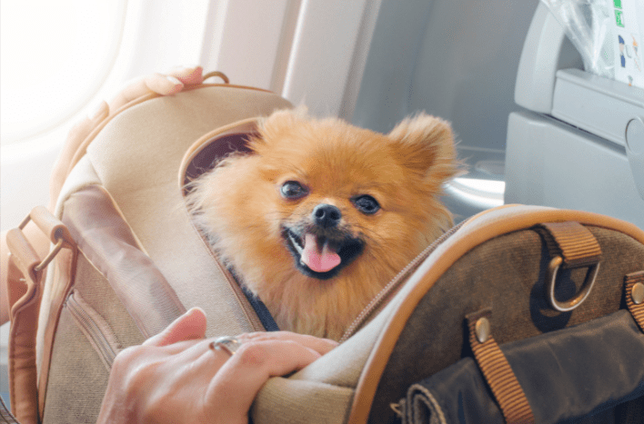 Pomeranian dog in a portable carrier